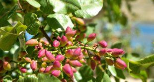 albero di pistacchi