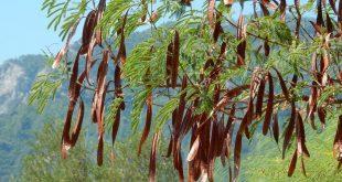 pianta carrubbo